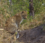 Oppie's cub at Ngala