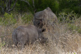 Black Rhino young with adult behind