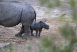 White Rhino adult and baby