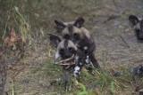 Fighting over impala jaw