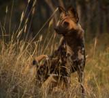Wild dog_Adult_Dulini South Africa DES3414 copy.jpg