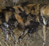 Wild Dog_Pack greeting_Ngala South Africa DES5374 copy.jpg