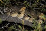 Crested Francolin  roosting