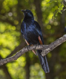Red-winged Starling_Kruger Park South Africa DES1989 copy.jpg