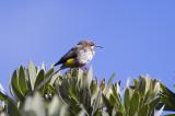 Sugarbird Gurneys