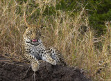 Oppie's Cub licking chops_Ngala South Africa DES5077.jpg