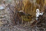 Western Bowerbird