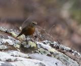 Rock Warbler (Origma)