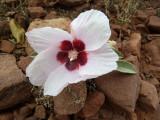 02 Desert Rose (Gossypium sturtianum)