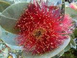 04 Mottlecah (Eucalyptus macrocarpa)