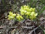 07 Common Popflower (Glischrocaryon aureum)