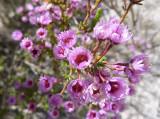 11 Verticordia plumosa (Plumed Feather Flower)