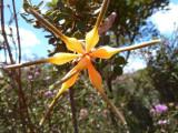 13 Chittick (Lambertia inermis)