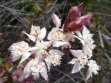 20 Southern Cross (Xanthosia rotundifolia)