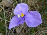 31 Purple Flag (Pattersonia occidentalis)