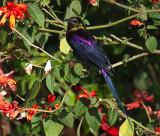Tacazzi Sunbird