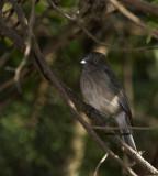 Abyssinian Gray Flycatcher