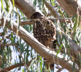 Ayer's Hawk-Eagle