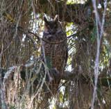 Abyssinian Long-eared Owl