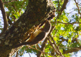 Red-necked Wryneck