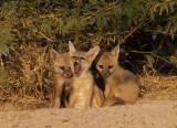 Indian Fox kits at den opening