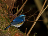 Red-flanked Bluetail,  male