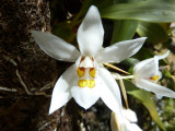 White wild orchid