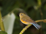 Red-flanked Bluetail,  female