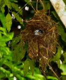 Silver-breasted Broadbill, in nest