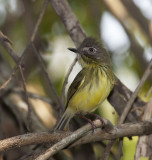Striped-necked Tody-tyrant