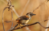 Rufous-backed Antwren