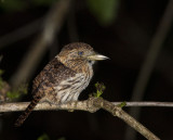 Striolated Puffbird