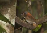 Rufous-necked Puffbird