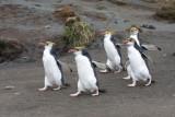 Royal Penguin group