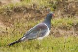 New Zealand Pigeon at Chatham Island