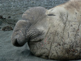 Elephant Seal snout