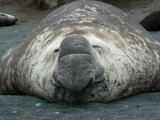 Elephant Seal girth