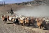 XinJiang -  Herd Transfer Sep 10