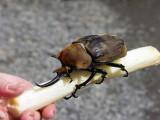 Miniature Beetle, Guapiles