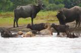 Buffalos On Family Beach, Tortuguero Selva