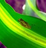 Mysterious Sponge Frog, Monteverde Forest