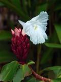 Flower In Tortuguero Selva