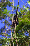 Howler Monkey In Stunt, Tortuguero Selva