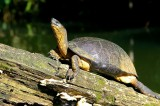 Sunbathing Black Turtle, Carrara Park