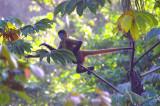 Spider Monkey In Jump, Tortuguero Forest