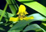 Wild Orchid, Tortuguero Selva