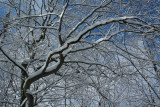 Bending Beech Stretching out Wintry Arms tb0311ser.jpg