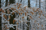 Snowy Beech Leaves and Limbs in WV Mtns tb0311scx.jpg