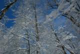 Frosty Timber Reaching up Toward Blue Sky tb0311sex.jpg