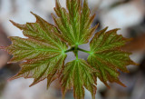 New Maple Reaching up from the Spring Earth tb0511rbx.jpg